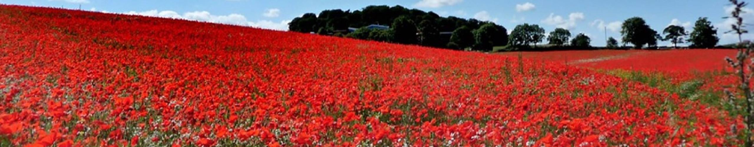Poppies in field